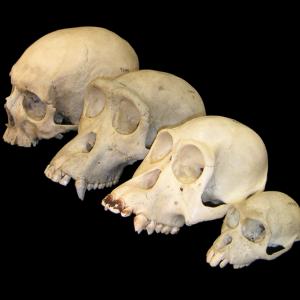 Primate_skull_series_blank